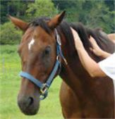 animal reiki horse